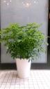 観葉植物【シェフレラ】陶器鉢付き