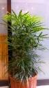 観葉植物【アラレア】カゴ付き
