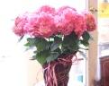 『お母さんいつも有難う』今年はピンクのアジサイです
