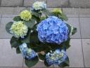 アジサイ ブルー6寸
