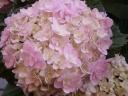 アジサイ【てまりてまり】5寸ピンク