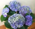 秋まで長く楽しめます。アジサイ【西安】ブルー