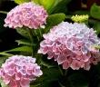 秋までたっぷり楽しめる アジサイ【西安】ピンク