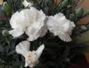 出荷量ごくわずか 希少な白い鉢植えカーネーション