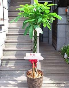 育てやすい観葉植物 パキラ10寸鉢カバー付き