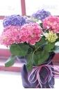 アジサイ【チボリ】赤青2色植え