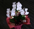 気軽に贈れるミニ胡蝶蘭
