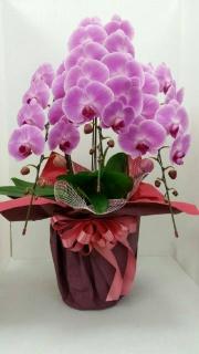 胡蝶蘭5本立ピンク