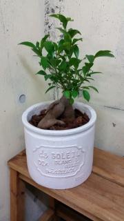 ガジュマルの鉢植え (陶器鉢)