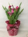 カラーの鉢植え 【ピンク】