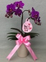 ミニ胡蝶蘭 濃いピンク