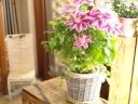 毎年お花を楽しめます「クレマチスの鉢植え」