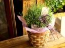 お花も香りも楽しめます「ラベンダー鉢植え」
