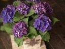 シックな紫!!「紫陽花・ディープパープル」