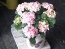 白とピンクの可愛い紫陽花・マーブルピンク