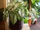 白と緑のコントラストが涼しげ☆カラジウムの鉢植え