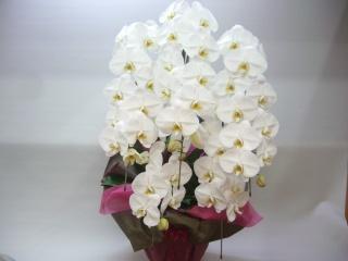 大輪系の胡蝶蘭【白】5本立です。