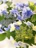 ブルーの八重咲きガクアジサイ こんぺいとう