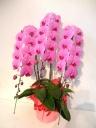 かわいいピンクの胡蝶蘭