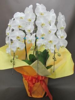 御祝い白胡蝶蘭3本立