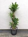 マッサンゲアナ(ドラセナ) 幸福の木
