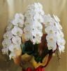 ファレノプシス、胡蝶蘭、