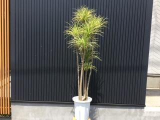 観葉植物~コンシンネ~