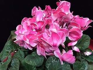 シクラメン花鉢