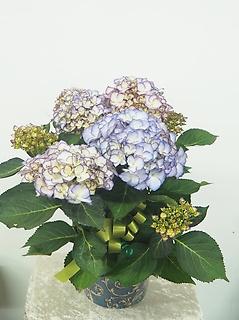 紫陽花淡いブルー5号