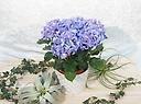 紫陽花ブルー 母の日 お洒落なバスケット入