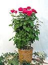 赤薔薇 母の日限定品