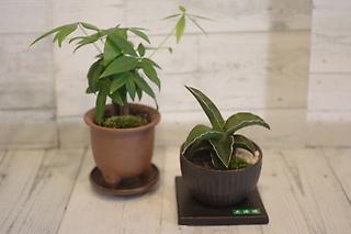 盆栽風な観葉植物2個セット