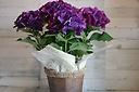 お母さんも中喜びなアジサイ紫(^^♪