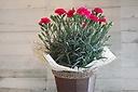 お母さんも小喜びカーネーション鉢植え ピンク系