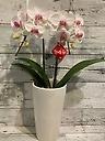 白とピンクのカワイイミディ胡蝶蘭