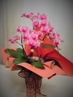 スー・ル・ヴァンの可愛い胡蝶蘭