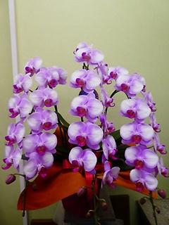 胡蝶蘭のピンク