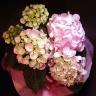 【母の日】 アジサイの花鉢