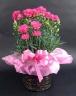 【人気商品】 ピンクのカーネーション鉢