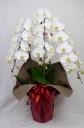 Phalaenopsis 20.0