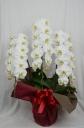 Phalaenopsis 30.0