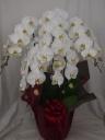Phalaenopsis 50.0