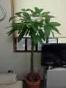 観葉植物(パキラ)