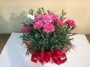 母の日カーネ鉢花(ピンク)