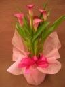 鉢植え**カラー