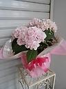 紫陽花 伊予獅子手毬-いよししてまり‐ ピンク