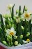 越前水仙の花束
