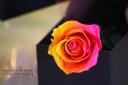 1輪のバラ グラデーションローズ 【サンセット】