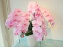 かわいいピンクのコチョウラン・モモコ5本立ち