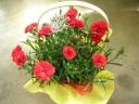 母の日 カーネーションの花鉢